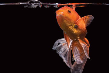 Goldfish open mouth & trying to breathe on surface water pump