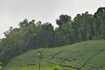 Printed kitchen splashbacks Khaki Tea garden landscape in the mountains, Taiwan