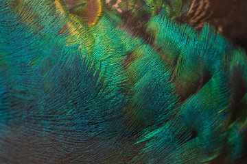Closeup peacock feathers for beautiful background