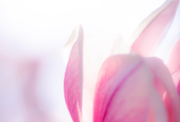 Blooming rose and pink magnolia and cherry flowers in springtime in germany. Closeup with space to write. Useful as a background picture.