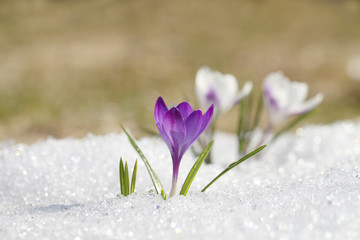 Photo sur Plexiglas Crocus Crocus blossomed on a spring sunny day. A beautiful blue primrose on a background of brilliant white snow.