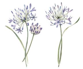 Watercolor allium flower illustration