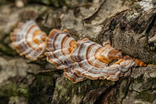 Turkey Tail Mushroom growing on dead hardwood stump