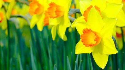 Foto op Canvas Narcis Daffodil Garden 2