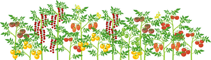 Agriculture plant border. General view of group of fruit-bearing different tomato plants with ripe tomatoes isolated on white background. Harvest time
