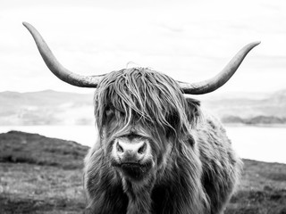 Printed roller blinds Bestsellers Highland cattle