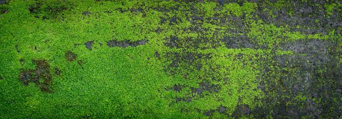 Moss green texture. Moss background. Green moss on grunge texture, background. Long web banner Wall mural