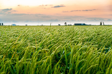 close up of windy green paddy field with rice ears at sunset in ebro delta national park with factory. Rice is the main agricultural resource of the region