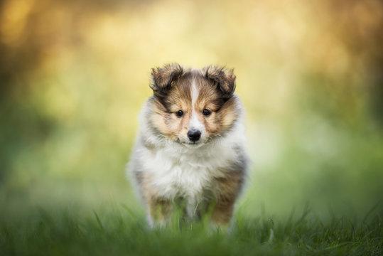 Shetland sheepdog - puppy