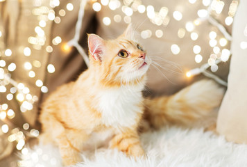 Fototapete - pets, christmas and hygge concept - red tabby cat on sofa with sheepskin at home in winter
