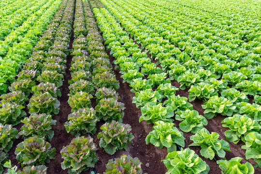 Farmers field with growing in rows green organic lettuce leaf vegetables