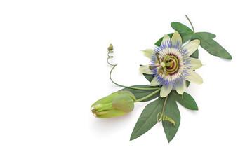 Passionsblume liegt auf weißem Hintergrund