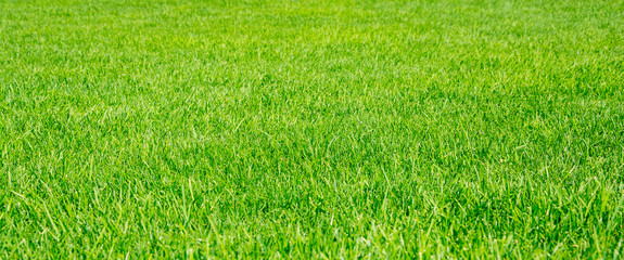 Green grass background in a sunny day
