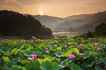 蓮池と朝日