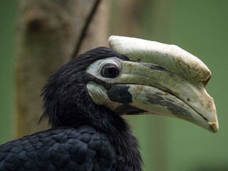 Anthracoceros marchei, Palawan hornbill, is a rare endemic species