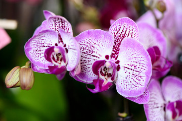 Moth Orchid, Phalaenopsis, white petals with a mottled purple color