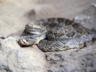 Mojave rattlesnake, Crotalus scutulatus, lies curled on the ground
