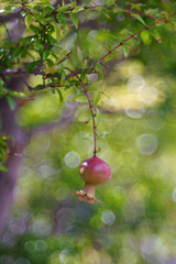 small pomegranate on branch close-up