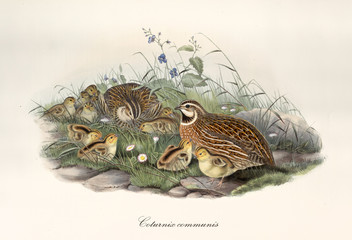 Quail with partner and children outdoor on a grassy and stony ground. Vintage style hand colored and detailed illustration of Common Quail (Coturnix coturnix). By John Gould, In London 1862 - 1873
