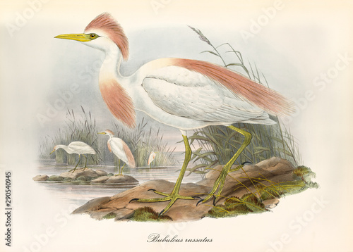 Cattle Egret Profile View Displayed With Its Pinkyish