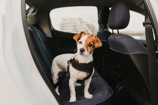 cute small jack russell dog in a car wearing a safe harness and seat belt. Ready to travel. Traveling with pets concept