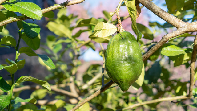 Green citrus bergamia fruit plant in a garden.