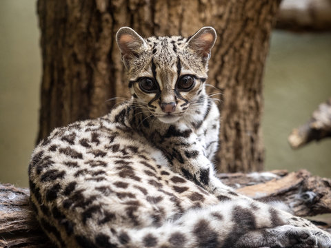 Margay, Leopardus wiedii, lies on a branch watching the surroundings