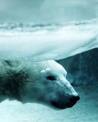 A polar bear swims through icy water.