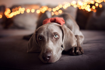 Brown dog wearing a red ribbon lying down on its stomach.