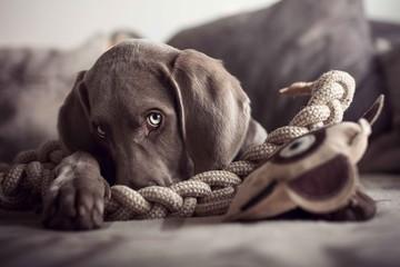 dog starring at camera with sad face
