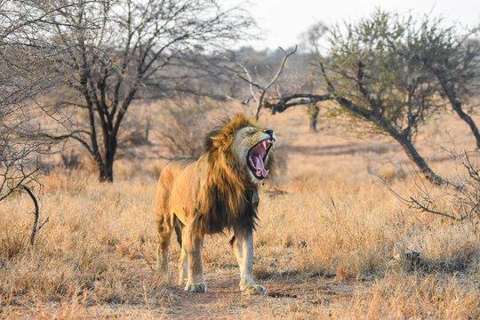Lion roaring in bushes