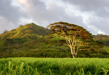 large Koa Tree stands alone in the buffalo grass near Koloa Kauai. this picture was taken in the late evening while the low angle of the sun glinted off the trunk and underside of the leaves
