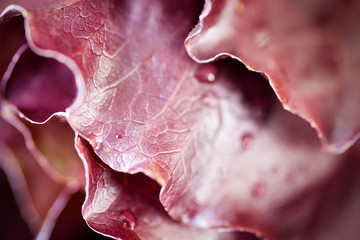 Fresh organic food red Romaine lettuce close-up selective focus with blurred background