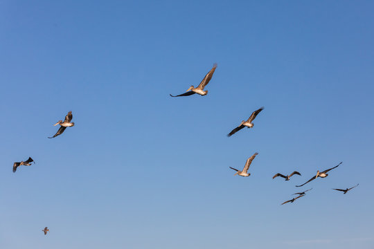 USA, Washington State, Ilwaco, Cape Disappointment State Park. flock of brown pelicans in flight.