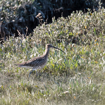 A European Curlew (Numenius arquata) walking in a seaside meadow displaying his camouflage colouring amongst the plants.