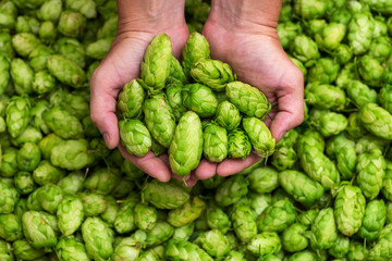 Green hops for beer. Man holding fresh hop in his hands. Craft beer ingredients at a brewery