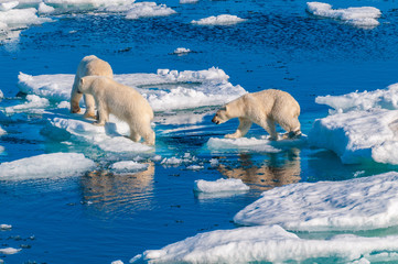 Printed roller blinds Polar bear Mother polar bear with cubs on ice pack in the Arctic Circle, Barentsoya, Svalbard, Norway