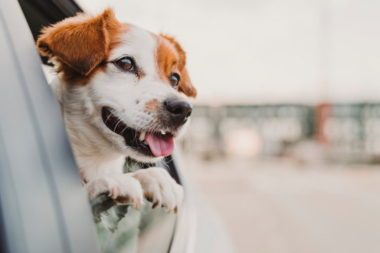 cute small jack russell dog in a car watching by the window. Ready to travel. Traveling with pets concept