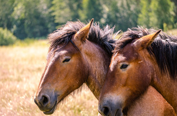 Two Belgian draft horses lovingly standing head-to-head in a pasture on a warm Spring day.
