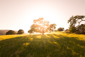 Tranquil scene of Oak tree with sun setting behind. Wall mural