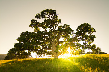 Wall Mural - Tranquil scene of Oak tree with sun setting behind.