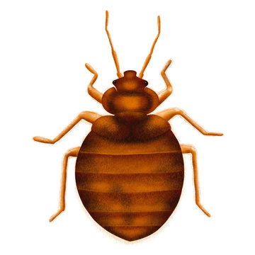Common Bedbug Cimex lectularius. Bed bug, drawn illustration, isolated on white