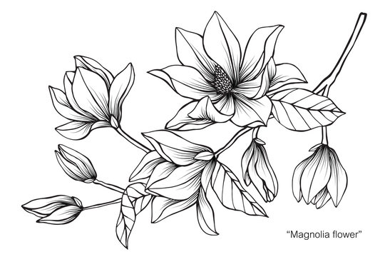 Magnolia flower and leaf drawing illustration with line art on white backgrounds.