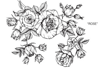 Rose flower and leaf drawing illustration with line art on white backgrounds.