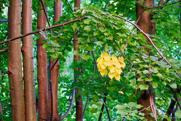 Spot of yellow leaves hanging from trees, isolated by a lot of green leaves, in a forest in Padurea Craiului (Apuseni) mountains, near Vadu Crisului, Romania. Beginning of autumn concept.