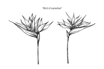 Bird of paradise flower drawing illustration with line art on white backgrounds.