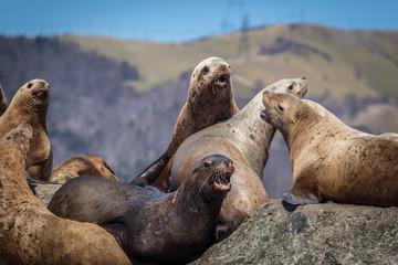 Sea lions onshore, Sakhalin island, Russia.