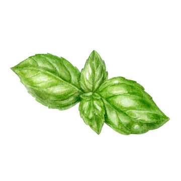 Basil leaf watercolor isolated on white background