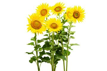 Fotobehang Zonnebloem sunflower isolated