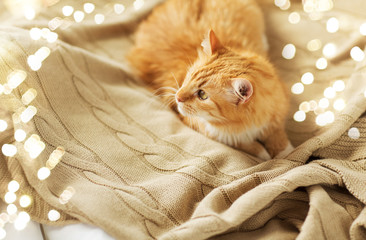 Fototapete - pets and hygge concept - red tabby cat lying on blanket at home in winter